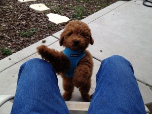 Belle-Cute mini Golden Doodle
